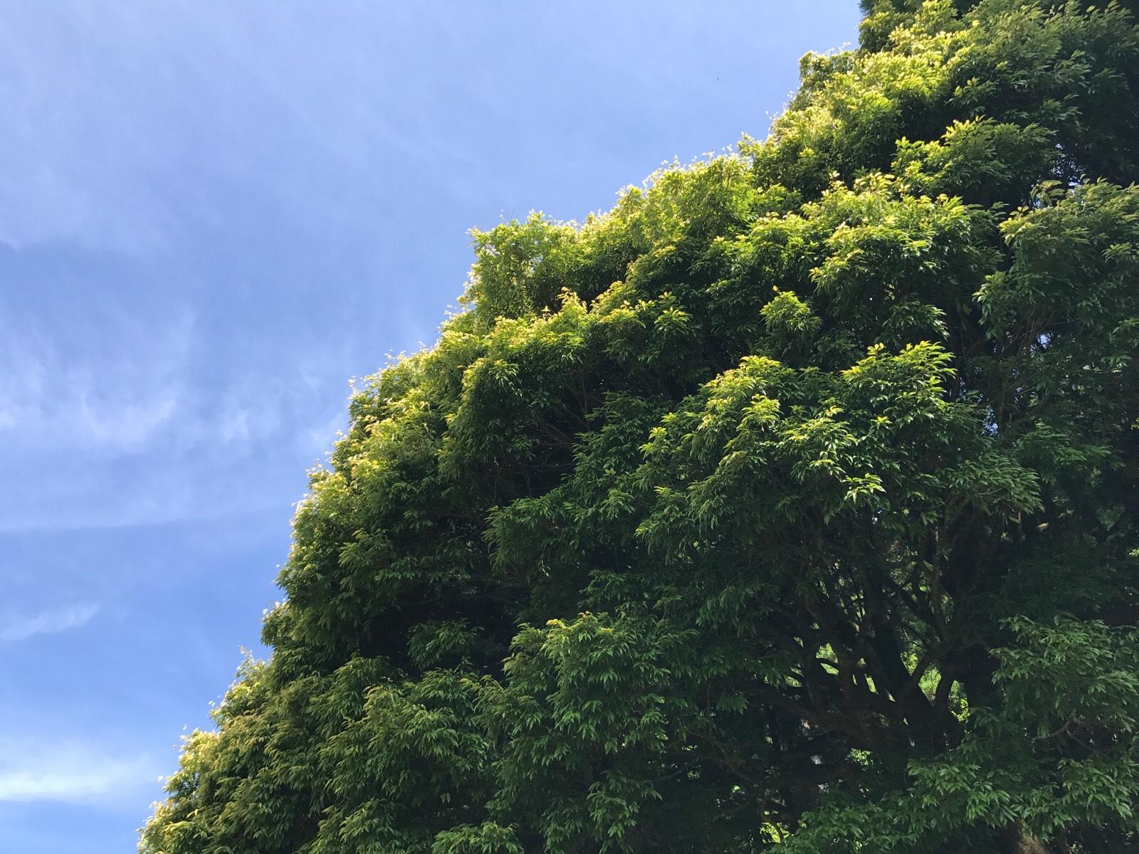 四季を通じて葉の色が移り変わる七色樫:変化し続けることとひとつ足りないこと