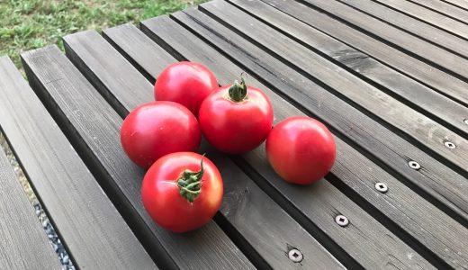 完熟トマトの収穫で:取引コストの重さを感じる